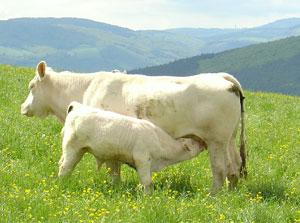 vache-300x223